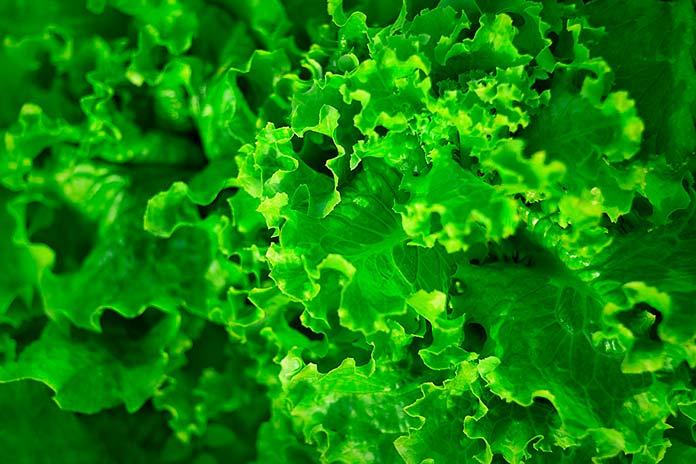 Salada de Alface com Molho Pesto